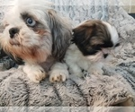 Shih Tzu Breeder in OLYMPIA, WA, USA