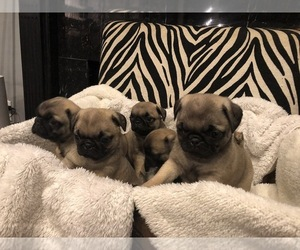 Pug Dog Breeder in BLOUNT SPRINGS,  USA