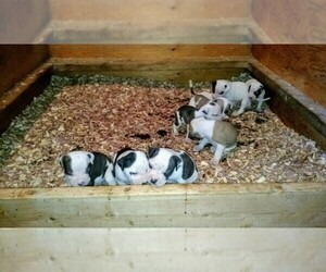 Main photo of American Bulldog Dog Breeder near FRANKLINVILLE, NJ, USA
