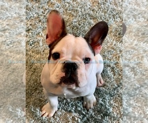 Main photo of French Bulldog Dog Breeder near SEALY, TX, USA