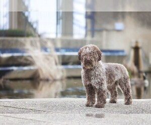 Main photo of Spanish Water Dog Dog Breeder near WINDSOR LOCKS, CT, USA