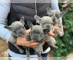 French Bulldog Breeder in MODESTO, CA, USA