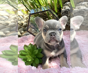 French Bulldog Dog Breeder in SAN JOSE,  USA