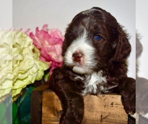 Main photo of Australian Labradoodle Dog Breeder near DRAPER, UT, USA