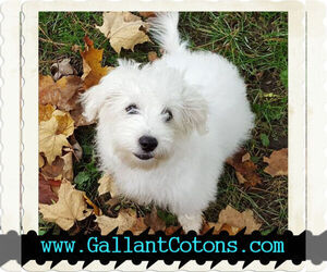 Main photo of Coton de Tulear Dog Breeder near RUSH CITY, MN, USA