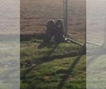 Basset Hound Breeder in HARKER HEIGHTS, TX, USA
