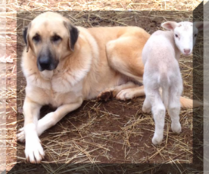 Anatolian Shepherd Dog Breeder near RUTHERFORDTON, NC, USA