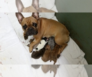 French Bulldog Dog Breeder near FREELAND, WA, USA