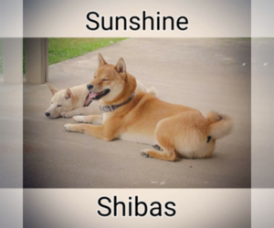 Shiba Inu Breeder in LENOIR CITY, TN