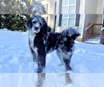 Aussiedoodle-Poodle (Standard) Breeder in FRIENDSHIP, NC, USA