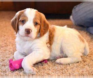 Brittany Dog Breeder in CONDON,  USA