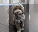Australian Labradoodle Breeder in LONDONDERRY, NH, USA