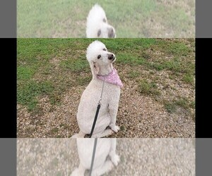Main photo of Poodle (Standard) Dog Breeder near NEVADA, TX, USA