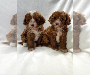 Main photo of Cavapoo Dog Breeder near COLBY, WI, USA