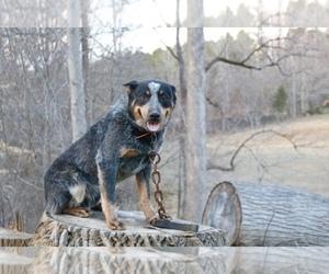 Main photo of Australian Cattle Dog Dog Breeder near WINSTON SALEM, NC, USA