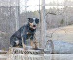 Australian Cattle Dog Breeder in WINSTON SALEM, NC, USA