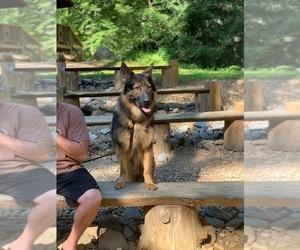 Main photo of German Shepherd Dog Dog Breeder near GLASGO, CT, USA