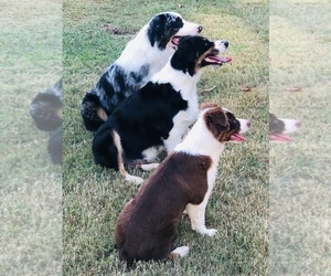 Australian Shepherd Dog Breeder in DEVILLE,  USA