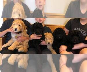 Main photo of Double Doodle Dog Breeder near CINNAMINSON, NJ, USA
