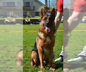 German Shepherd Dog Breeder in WESLACO, TX