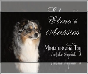Main photo of Miniature Australian Shepherd Dog Breeder near CHATTANOOGA, OK, USA