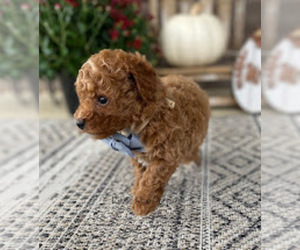 Poodle (Toy) Dog Breeder in LANTON,  USA