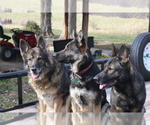 German Shepherd Dog Breeder in GRAYSVILLE, TN, USA