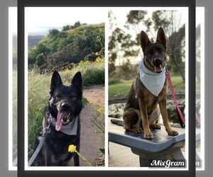 Main photo of German Shepherd Dog Dog Breeder near BALDWIN HILLS, CA, USA
