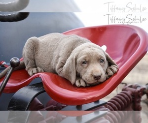 Main photo of Labrador Retriever Dog Breeder near CRAIG, CO, USA