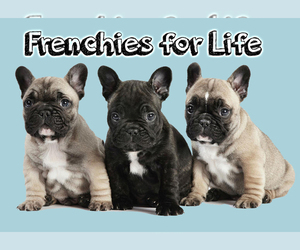 Main photo of French Bulldog Dog Breeder near WEST PALM BEACH, FL, USA