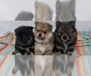 Main photo of Pomeranian Dog Breeder near PLANT CITY, FL, USA