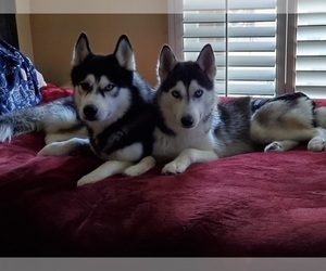 Main photo of Siberian Husky Dog Breeder near UPLAND, CA, USA