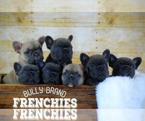 Main photo of French Bulldog Dog Breeder near POMPANO BEACH, FL, USA