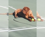 Dogue de Bordeaux Breeder in AMHERST, NH, USA