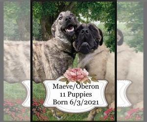 Mastiff Dog Breeder in DRY FORK,  USA
