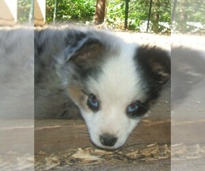 Main photo of Miniature Australian Shepherd Dog Breeder near SCAPPOOSE, OR, USA