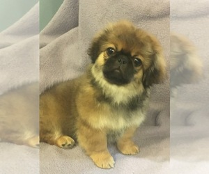 Pekingese Dog Breeder near BROOKLYN, NY, USA