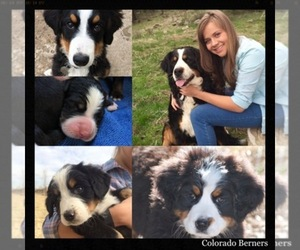 Main photo of Bernese Mountain Dog Dog Breeder near GOLDEN, CO, USA