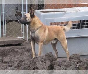 Main photo of Belgian Malinois Dog Breeder near VALLEJO, CA, USA