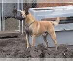 Belgian Malinois Breeder in VALLEJO, CA, USA