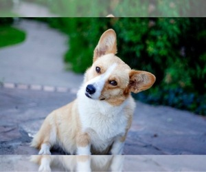Pembroke Welsh Corgi Dog Breeder in WEATHERFORD,  USA