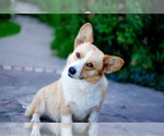 Pembroke Welsh Corgi Breeder in WEATHERFORD, TX, USA