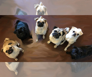Pug Dog Breeder near EL PASO, TX, USA