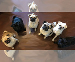 Pug Breeder in EL PASO, TX, USA