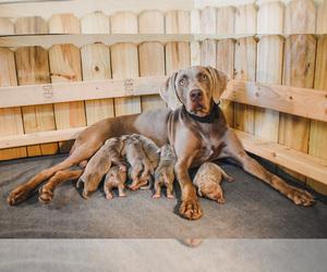 Main photo of Weimaraner Dog Breeder near WILDWOOD, FL, USA