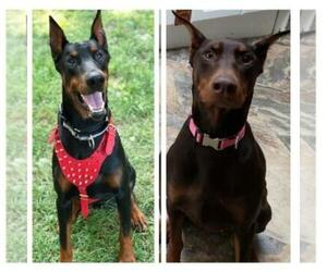 Doberman Pinscher Dog Breeder in WATERFORD,  USA