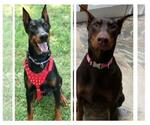 Doberman Pinscher Breeder in WATERFORD, MI, USA