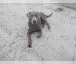 Labrador Retriever Breeder in SANDERSON, FL