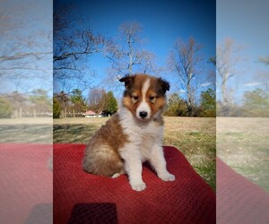 Collie Dog Breeder in CENTERTOWN,  USA