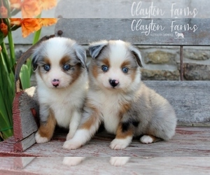 Miniature Australian Shepherd Dog Breeder near CAULFIELD, MO, USA